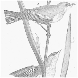 Drawing of birds by Audubon in black and white