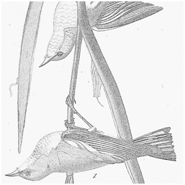Drawing of birds by Audubon in black and white upside down